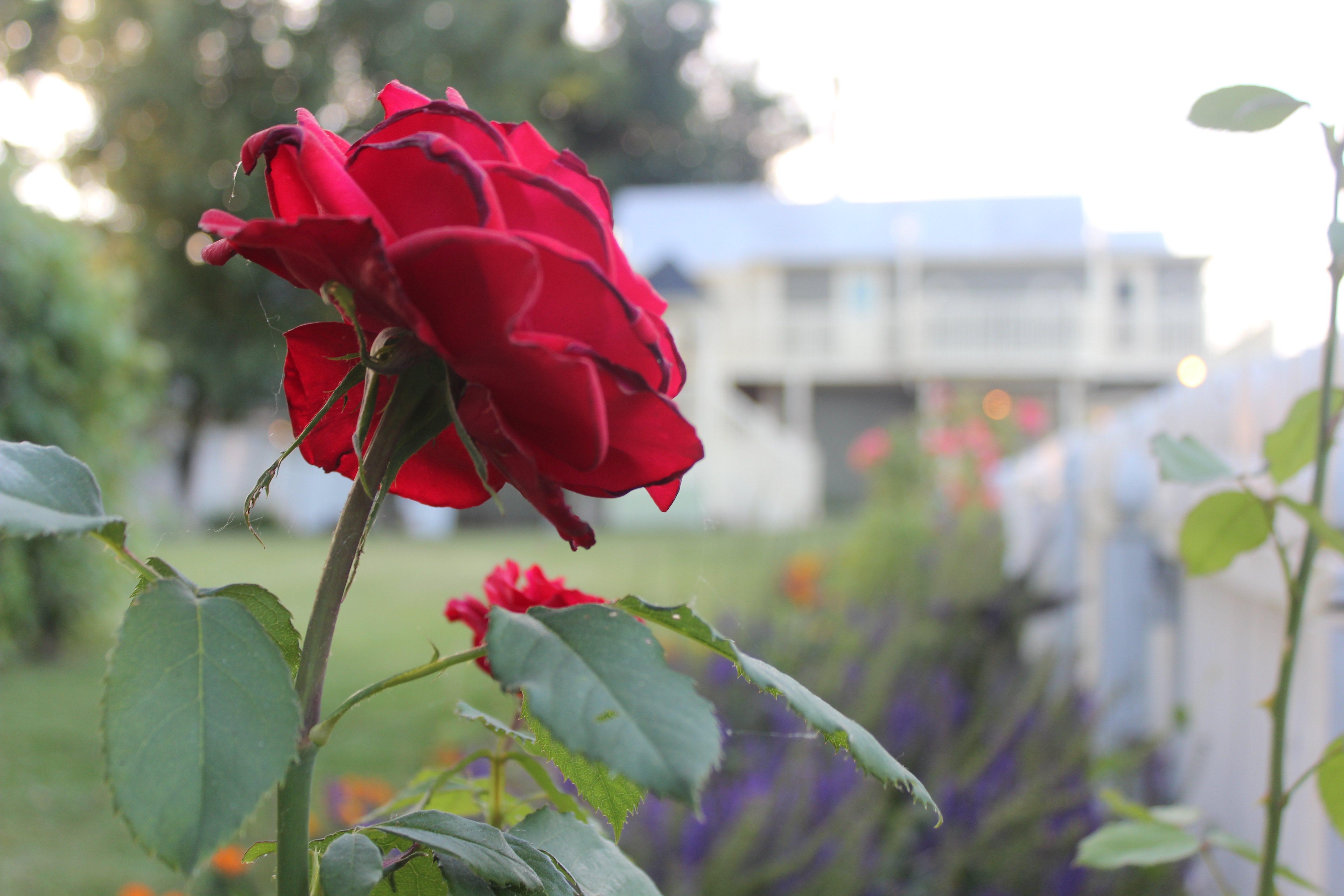 Garden Rose.jpg